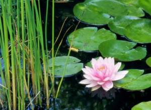 Lily's lily pond