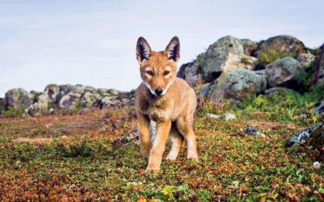 Ethiopian wolf endangered